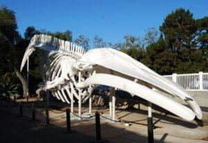 Blue Whale Skeleton Restoration