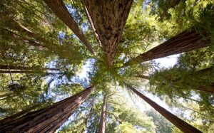 Protecting Old-Growth Redwood Forest