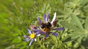 Project Bumble Bee: Conserving Wild Pollinators in California